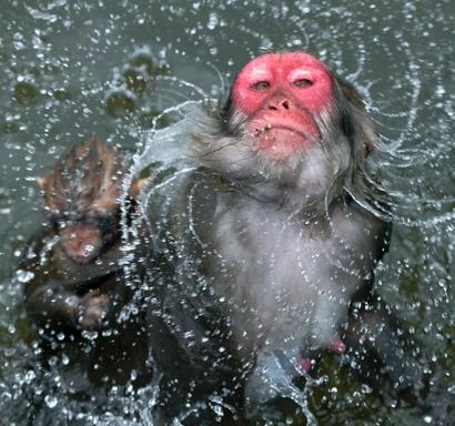 小豆島、猿が水しぶきの舞 暑さしのぎにプール遊び