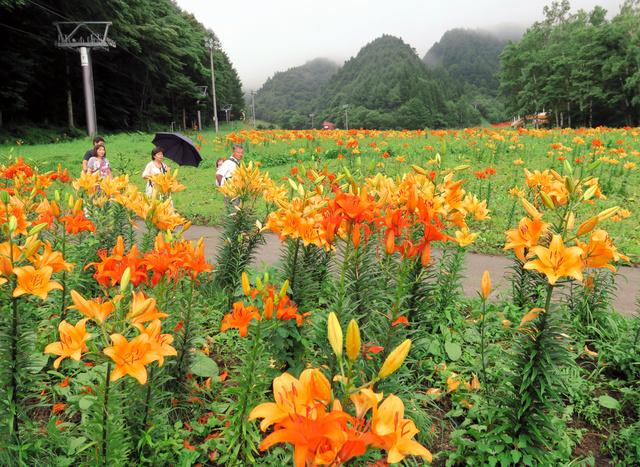 ゲレンデがユリの花で埋まるのも今年が最後=片品村土出の尾瀬岩鞍ゆり園