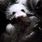上野のパンダの赤ちゃん、名前募集へ カタカナで