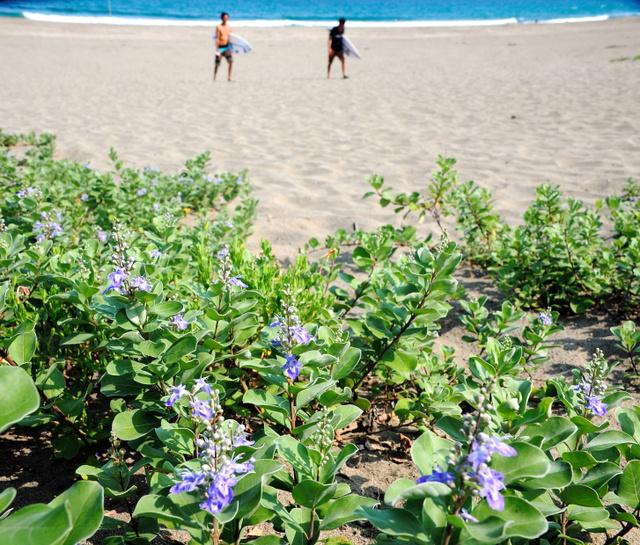 砂浜で咲き誇るハマゴウの花=黒潮町入野