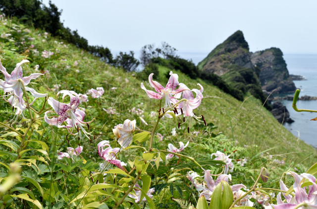 下甑島「鳥ノ巣山展望所」下に広がるカノコユリの群落=薩摩川内市