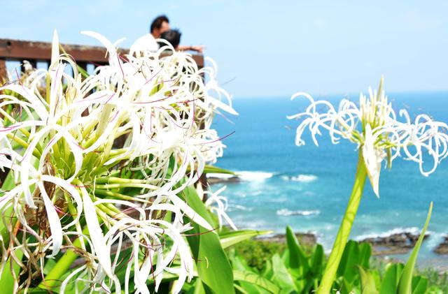 堀切峠では海風に揺られ、さわやかな香りを放っていた=宮崎市