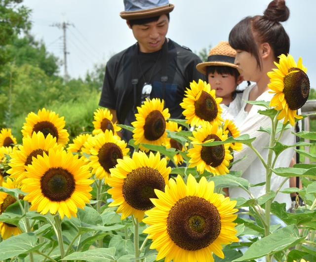 見頃を迎えたヒマワリの花=広陵町と河合町にまたがる馬見丘陵公園