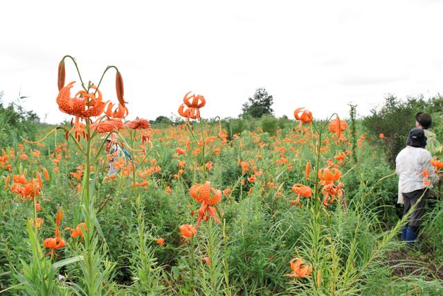 赤みがかったオレンジ色が鮮やかなコオニユリが咲き誇っていた=多古町