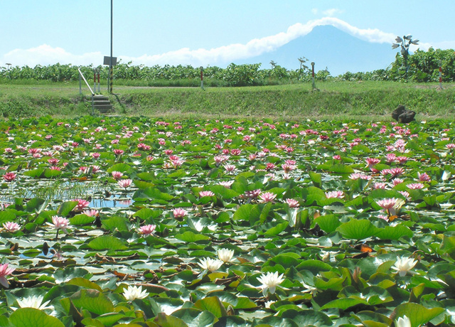 利尻富士を望むスイレン池=稚内市