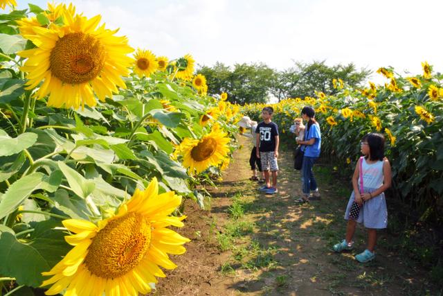 2万本以上が咲き誇る「ひまわり広場」=7月31日、春日部市牛島