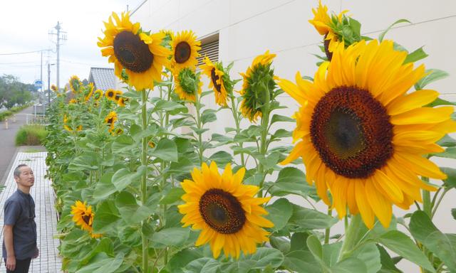 大輪の花を咲かせる「ど根性ひまわり」=龍ケ崎市中里の「さんさん館」前