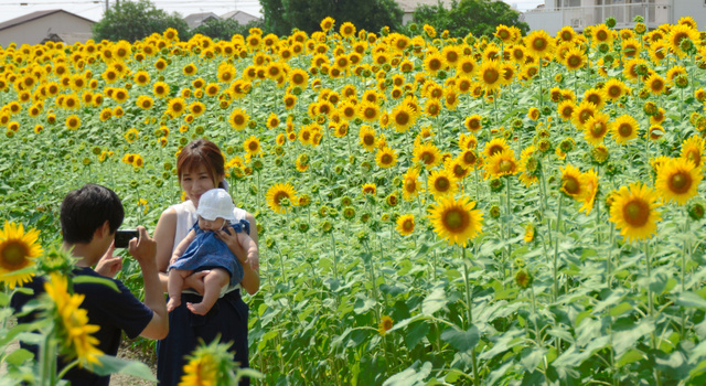 満開のヒマワリ畑で記念撮影をする親子連れ=佐賀市兵庫町渕