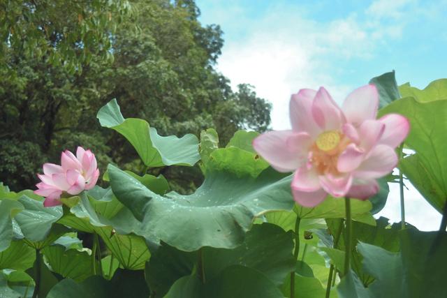 青空に映える古代ハスの花=室戸市室津