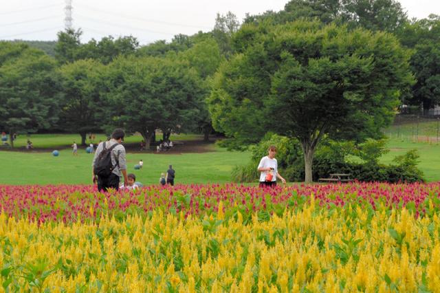 羽毛ゲイトウの花畑で遊ぶ親子連れ=国営武蔵丘陵森林公園