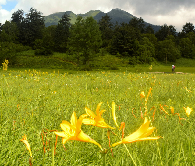 鮮やかな黄色の花を咲かせるニッコウキスゲ。正面の山は燧ケ岳=檜枝岐村
