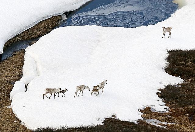 米国立北極圏野生生物保護区(ANWR)内を移動するカリブー