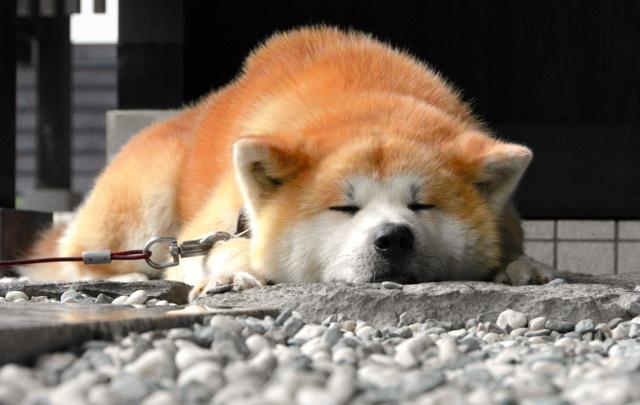【秋田】秋田犬、この夏も大人気 暑さ苦手だけど…県PRに一役 [無断転載禁止]©2ch.net->画像>22枚