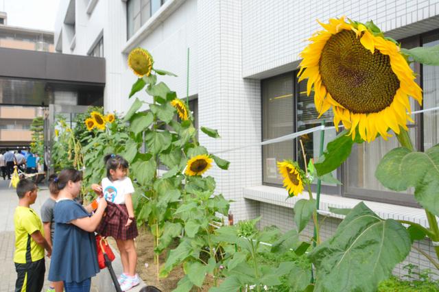 松山西署の玄関先に咲いたヒマワリ=松山市須賀町