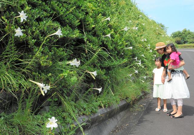 公園の道路沿いで咲き誇るタカサゴユリ=四万十市下田
