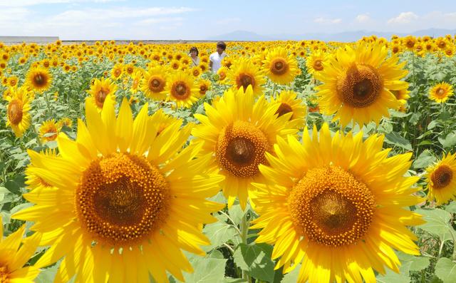 季節体験農場「花の海」で見ごろを迎えているヒマワリ畑=3日、山口県山陽小野田市、金子淳撮影