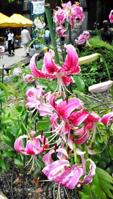 色鮮やかに咲くカノコユリ=新居浜市