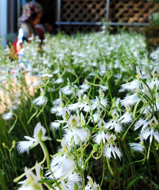 サギソウの見頃は8月後半ごろまでという=広島市佐伯区の市植物公園