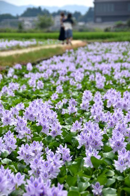 ホテイアオイの花が広がる=橿原市城殿町