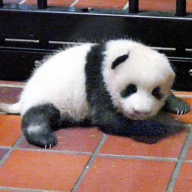 上野のパンダ、名前応募が過去最多に 「トントン」超え