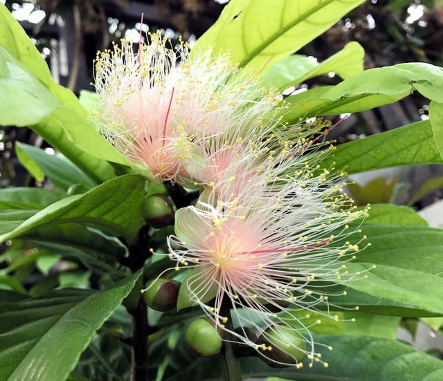 日暮れとともに咲くサガリバナ=淡路市夢舞台、奇跡の星の植物館提供