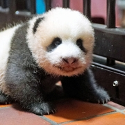 上野の赤ちゃんパンダ、生後70日 脚踏ん張って前進