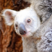 白いコアラ、豪州の動物園で誕生 FBで名前募集中
