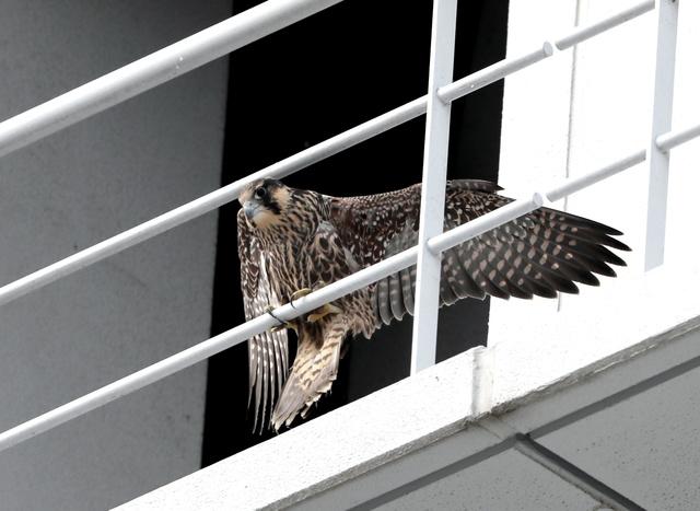 【鳥】絶滅危機のハヤブサ、高層ビルが救う?街で子育て増加中