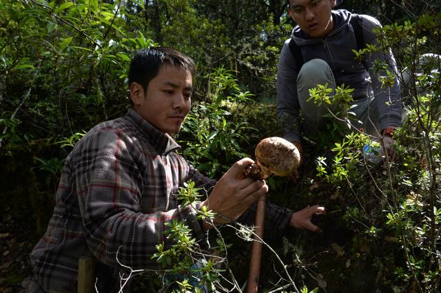 大きなマツタケを掘り出したマツタケハンター=ブータン・ゲネカ村