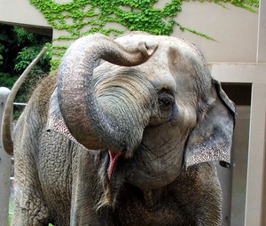 アジアゾウの画像 p1_15