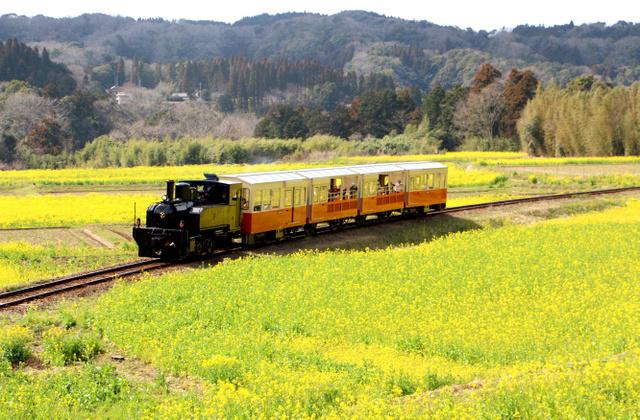 菜の花畑の中を走る里山トロッコ列車=市原市
