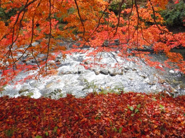 紅葉真っ盛りの久多川沿い=11月12日