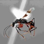 昆虫採集イベントで発見のハチ、実は世界2例目 三重