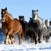運動不足、馬にも大敵です 北海道・音更で「追い運動」