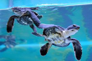 アオウミガメの赤ちゃん。卵から孵化するまでにさらされる温度によって性別が決まる