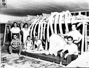 56年前に発見のクジラ化石、新種だった 昭島の河川敷