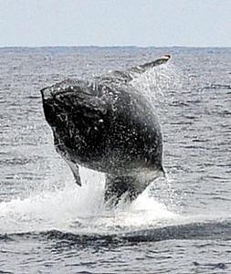 ザトウクジラが豪快ジャンプ 奄美大島沖で回遊シーズン