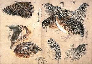 鳥類真写図巻(部分)=18世紀、渡辺始興筆
