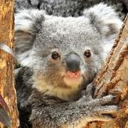 名前は「こまち」よろしくね コアラの赤ちゃんに命名式