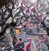 春運ぶ梅の花ちらほら 大阪城公園で三分咲き