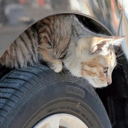 「猫バンバン」忘れるにゃ 「猫の日」にJAF呼びかけ