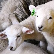 もこもこ羊の赤ちゃん、どんどん誕生 六甲山牧場