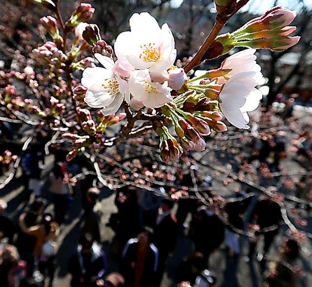 開花が宣言された靖国神社にある標本木=17日午後2時42分、東京都千代田区