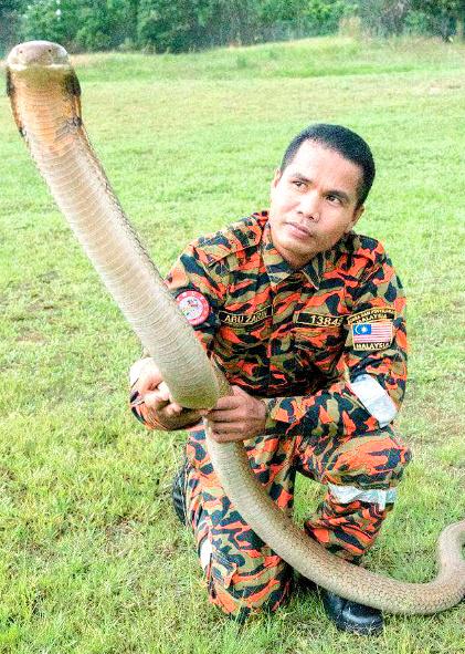 マレーシアの「毒蛇使いの達人」死亡 コブラにかまれる