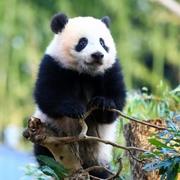 パンダ貸与を中国に要請 神戸・仙台での受け入れ念頭に