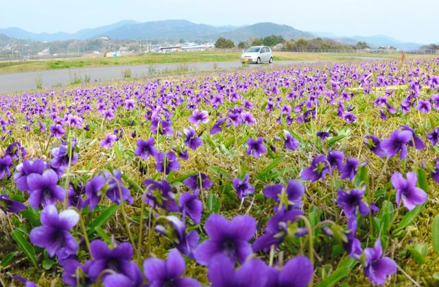 スミレの花、紫のじゅうたん 高...