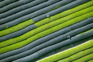茶畑、上空から見てみると…宇治茶産地の京都・和束