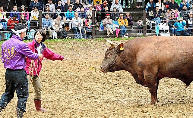 女性オーナーが闘牛場に入り、「引き回し」を行った=4日、新潟県長岡市の山古志闘牛場
