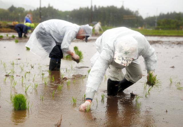 雨の中、実証栽培の田んぼで田植えをする関係者ら=福島県大熊町大川原地区
