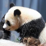 シャンシャン観覧、6月5日から並んだ順で 上野動物園